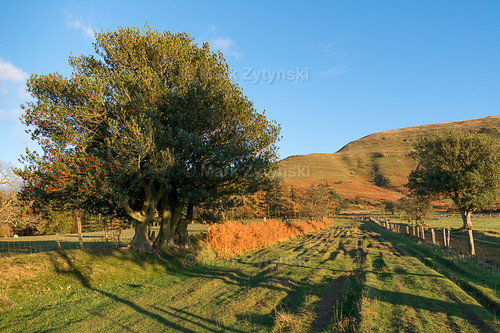 trees nature wales unitedkingdom holly talgarth blackmountains ilexaquifolium breconbeaconsnationalpark ydas
