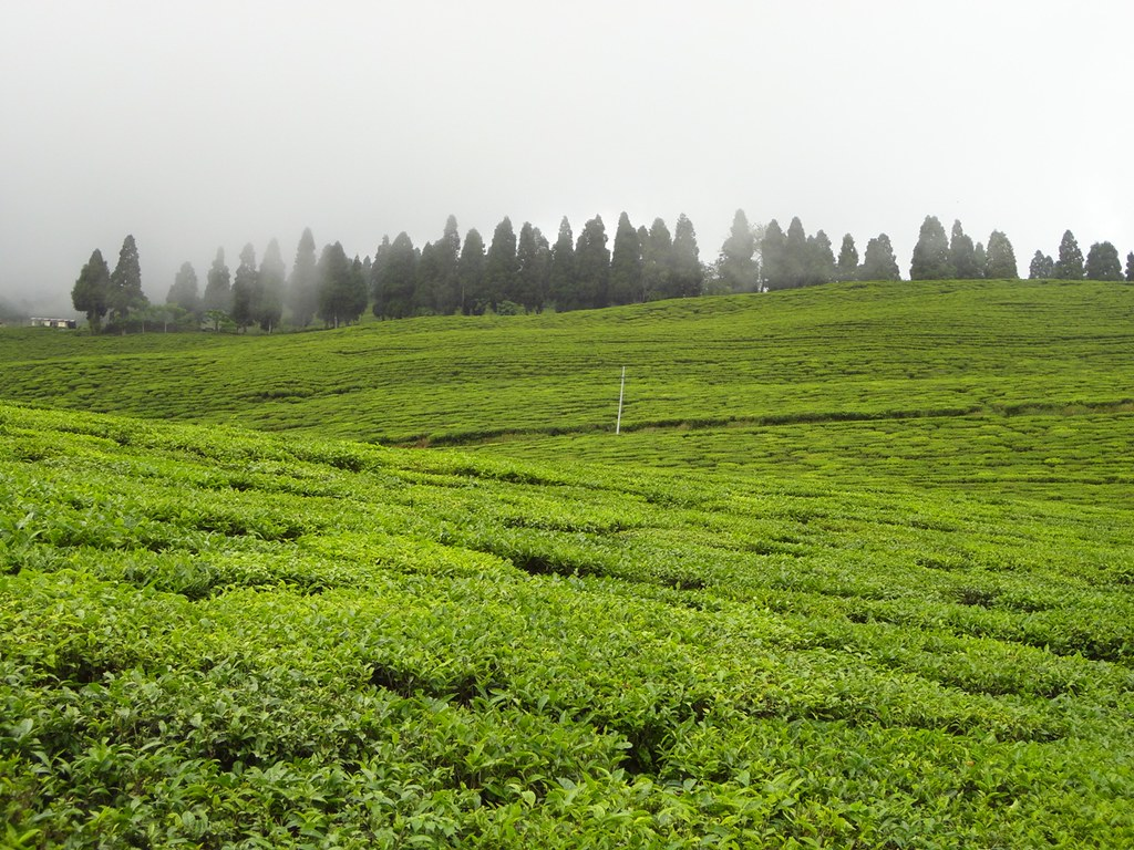 .Temi tea garden sikkim