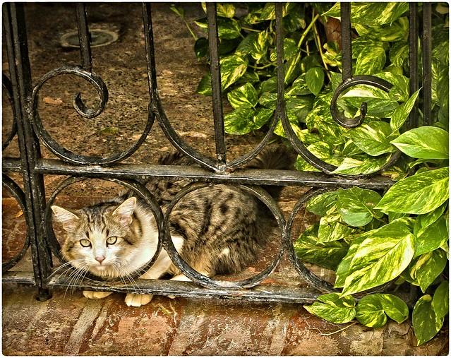 Gato Sanjuanero (San Juan Cat)