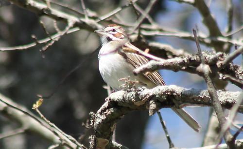 larksparrow sparrow chondestesgrammacus ebirdrarityphoto bird