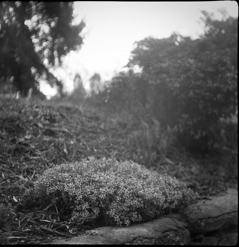 tiny spring floral forms, ground cover, landscape, West Asheville, NC,  Flektar TLR 75mm f-3.5, Fomapan 200, Ilford Ilfosol 3 developer, 4.6.17