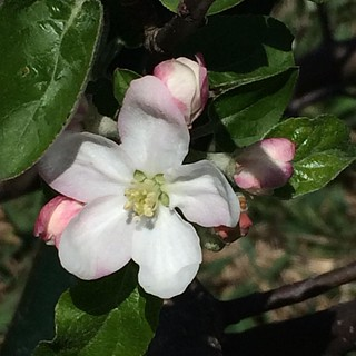 Apple blossom time @breslinfarms #organic #apples | by cheeses