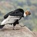 Vultur gryphus - Photo (c) Sergey Pisarevskiy,  זכויות יוצרים חלקיות (CC BY-NC-SA)