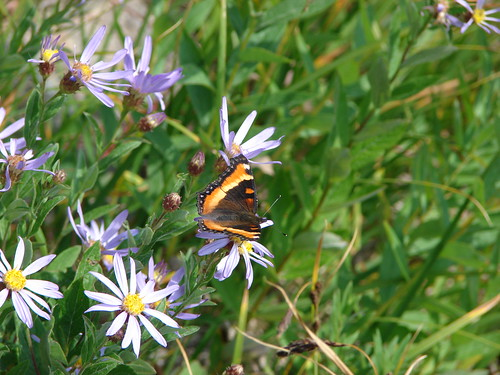Milbert's Tortoiseshell Butterfly on the way up Coldwater Peak