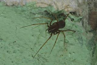 Makunda Arachnids-343 - Scytodes fusca | by Vijay Anand Ismavel