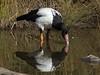 Magpie Goose (Anseranas semipalmata) by David Cook Wildlife Photography