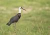 Wooly-necked Stork, Ciconia episcopus, Hwange National Park, Zimbabwe, Dec 12 by Jeremy Smith Photography