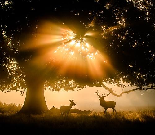 england animal mammal perfect stag photographer unitedkingdom surrey planet reddeer vertebrate the bushypark cervuselaphus
