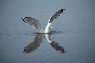 Gull | by Me in ME