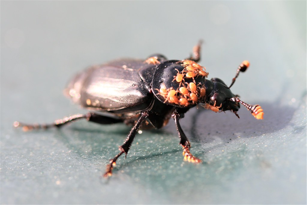 A beetle pest with babies on its back
