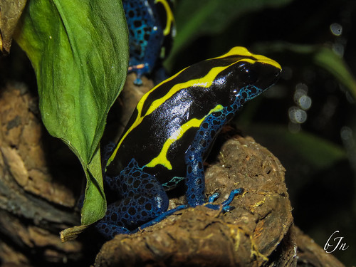 Dyeing Dart Frog - Melb Aquarium (Dendrobates tinctorius)
