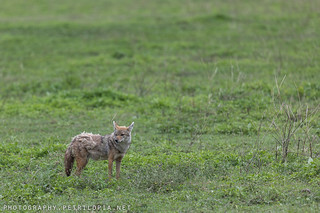 Golden Jackal | by Petri Lopia