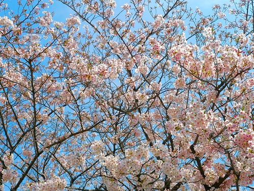 Cherry_Blossoms_1330114