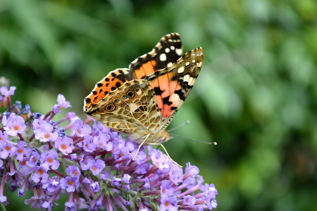 Painted Lady Butterfly Vanessa Virginiensis