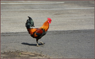 Why did the chicken cross the road? | by tdlucas5000