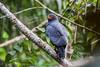 Gavião azul - Buteogallus schistaceus - Slate-colored Hawk by Thiago Orsi