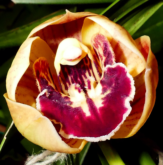 Cymbidium Tampa Bay 'Windermere' hybrid orchid