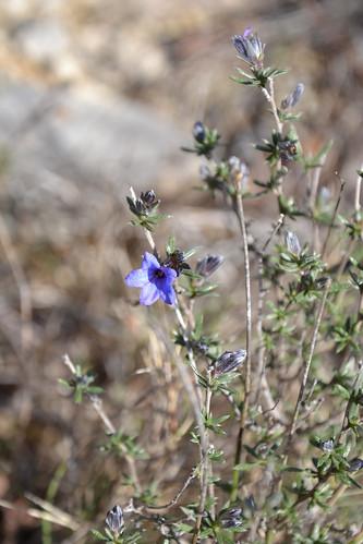 Lithodora fruticosa - grémil ligneux 32682615243_49b1f01335