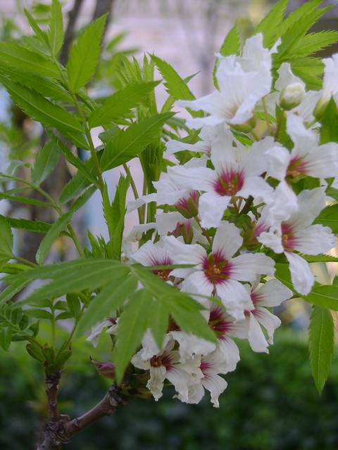 Xanthoceras sorbifolium 33183790442_f02a7ec74a_z