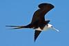 Magnificent Frigatebird (Fregata magnificens) immature. Gulf of Mexico coast, Sisal, Yucatan, Mexico. by cbrozek21