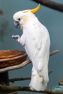 Citron-crested Cockatoo | by wuestenigel