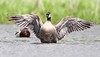 Cackling Goose by www.lirongertsman.com