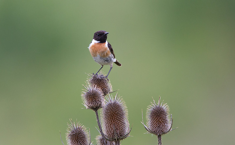 Stonechat - they look superb on Teazel
