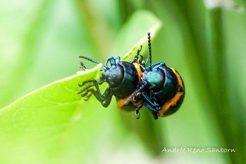 Swamp Milkweed Leaf Beetle (Labidomera clivicollis