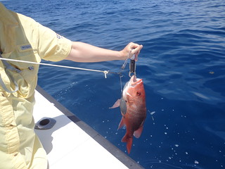 holly red snapper seaqualizer | by Florida Sea Grant