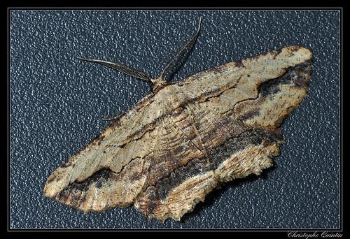 Menophra abruptaria mâle