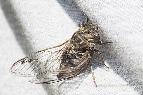 Dog-day Cicada (Tibicen canicularis)