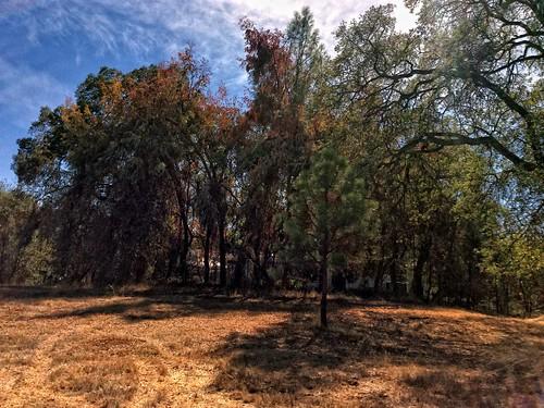 california trees fall northerncalifornia clouds weeds fallcolor edited liveoak eucalyptus hdr oaktrees ponderosapine 1october2013