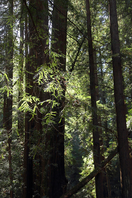 In the Muir Woods National Monument, Redwood Canyon, near Mill Valley, Marin, Ca., USA