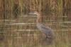 Goliath Heron  (Ardea goliath) by piazzi1969