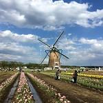 Day 6 Tulip Field