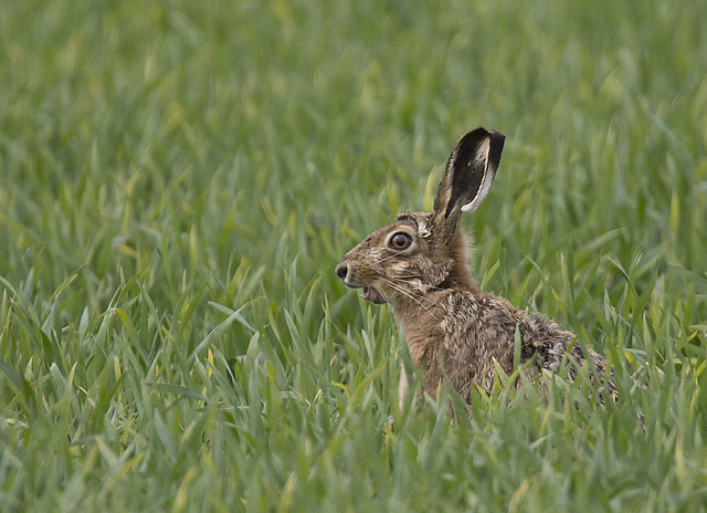 Hares_5371