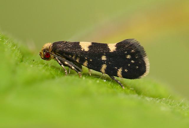 136_Raspberry Moth Lampronia corticella_Ex larva on Rubus_Broadway Wood_em210417b