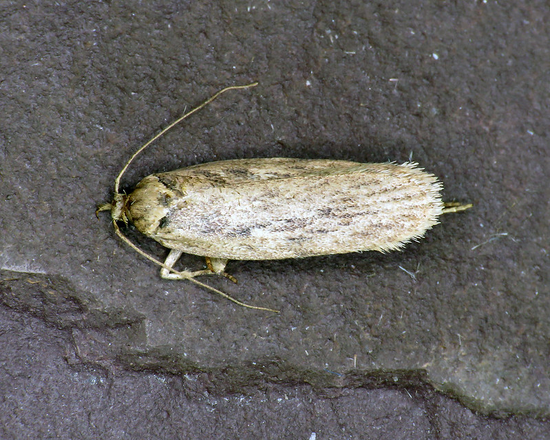 32.036 Parsnip Moth - Depressaria radiella