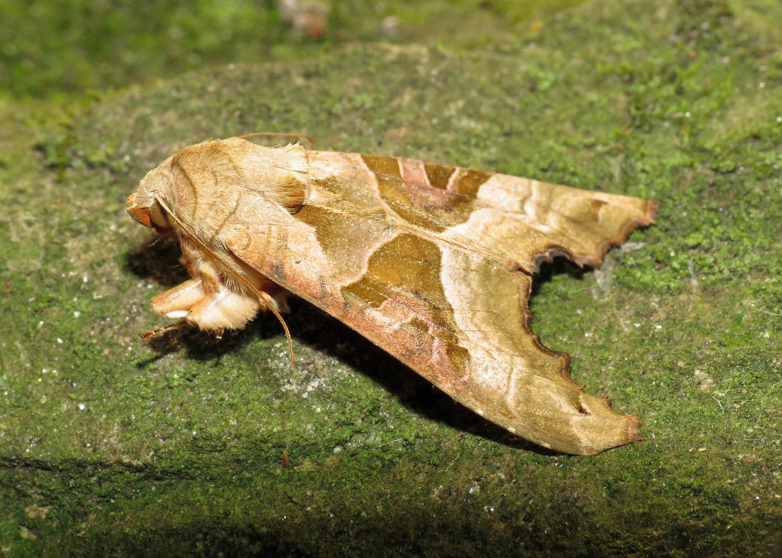2306 Angle Shades - Phlogophora meticulosa