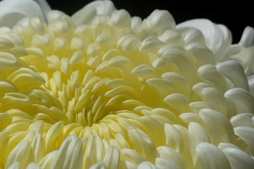Chrysanthemum AW-08 | by wundoroo