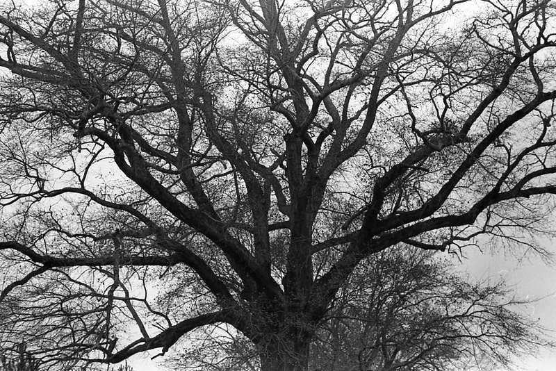Trees in Winter, 2014.