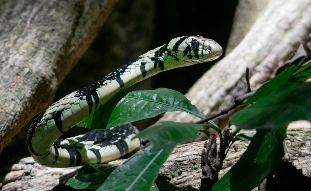 Tiger rat-snake (Spilotes pullatus), Carara National Park, Costa Rica