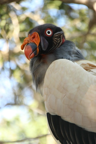 Sarcoramphus papa (King Vulture) | by Jebilá