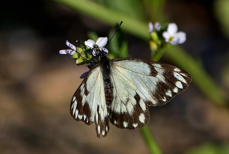 Belenois java (Caper White )