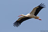 White Stork, Ciconia ciconia by Kevin B Agar
