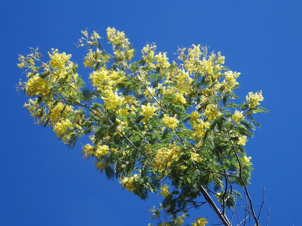 Acacia Dealbata Gaulois Astier Hottentotfig Flickr