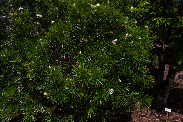Plumeria syn. Frangipani, Botanic Gardens, Darwin