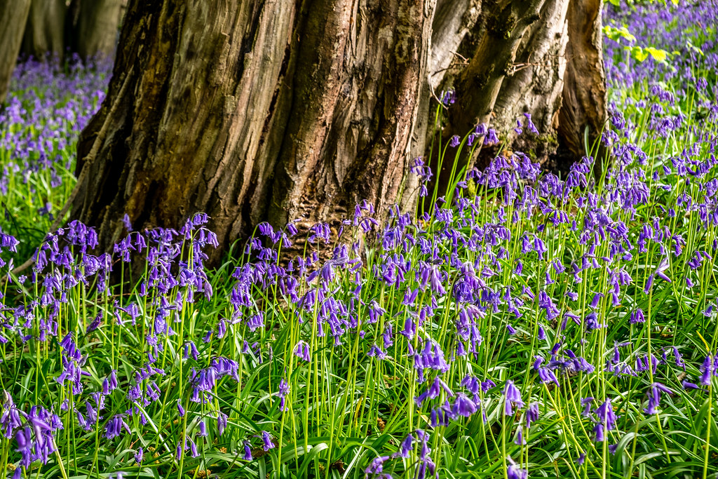Bluebells Around Tree