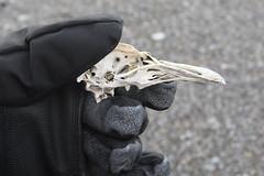 Penguin Skull