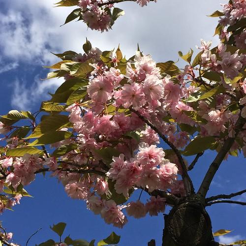 Regent's Park cherry blossom | by Fran Pickering